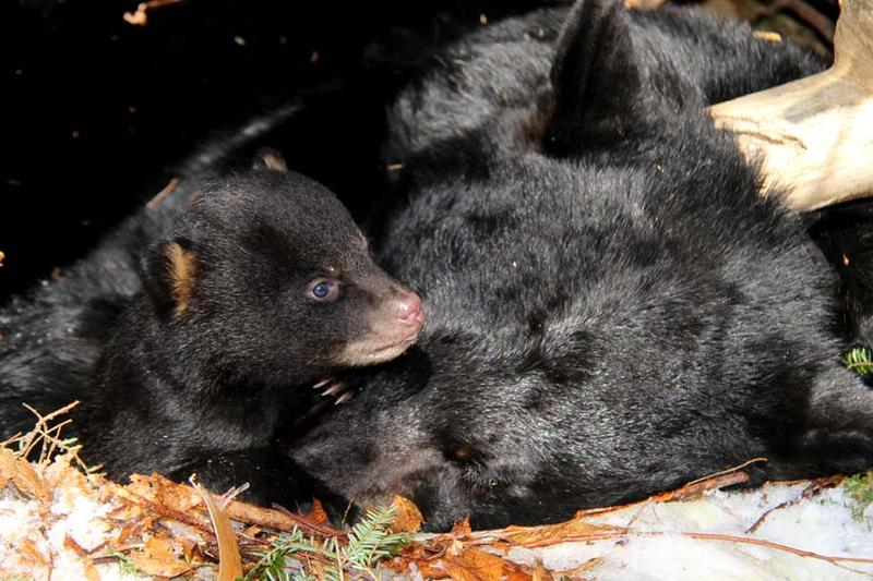 Finn from Hinesburg wants to know how bears sleep all winter? Female black bears give birth to cubs like these while in hibernation, but are in a shallow enough sleep to care for their cubs.