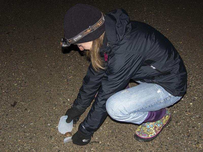 Biologist Sara Zahendra is using a scoop and container to help a Wood Frog migrate safely across the road.