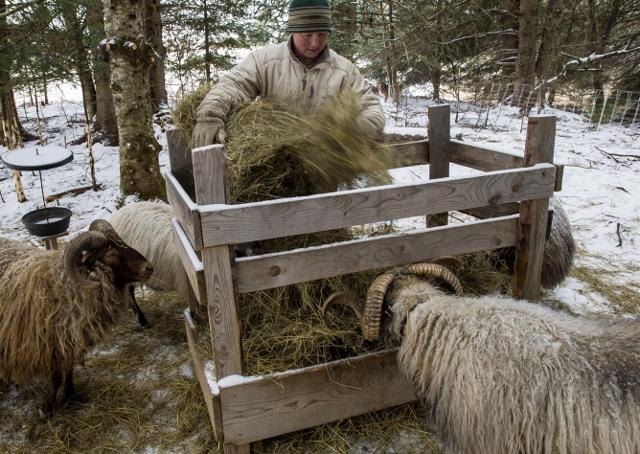 Vanessa Riva feeds a supplement containing kelp to her Icelandic Sheep at Stark Hollow Farm in Danville.