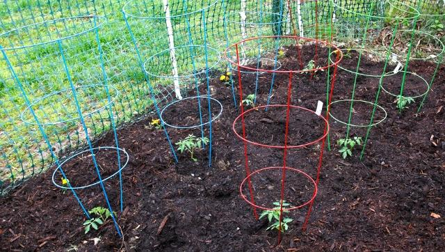 Tomatos do best when grown off the ground. There are a few ways to achieve this, such as cages, stakes and trellises.