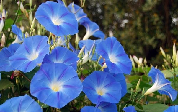 Morning Glories are related to sweet potatoes and moon flowers and are often used a decorations, though they are sometimes grown as food. The plant likes to climb, so it is a good idea to put them near a mailbox, trellis or fence.