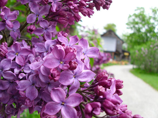Lilacs in full bloom at Shelburne Museum