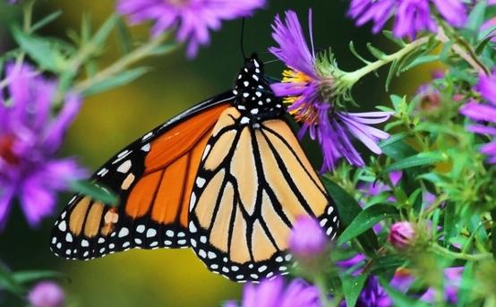 Monarch butterflies are one pollinator you can attract by adding certain plants to your garden. Pollinators plan an important role in our food systems.