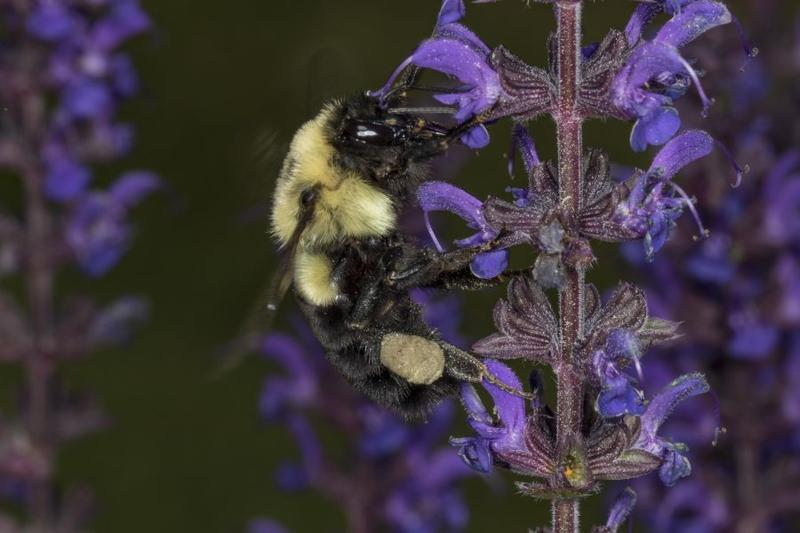 A Common Eastern Bumblebee visits a salvia flower at a pollinator garden at the Birds Of Vermont Museum.