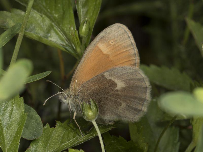 The Common Ringlet, along with bees, flies and butterflies is an important pollinator.