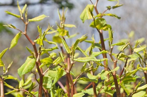 Perennial weeds, like Japanese Knotweed, are difficult to control and keep out of the garden. However, if you are vigilant and take the time to really clear the weeds out you can keep them at bay.