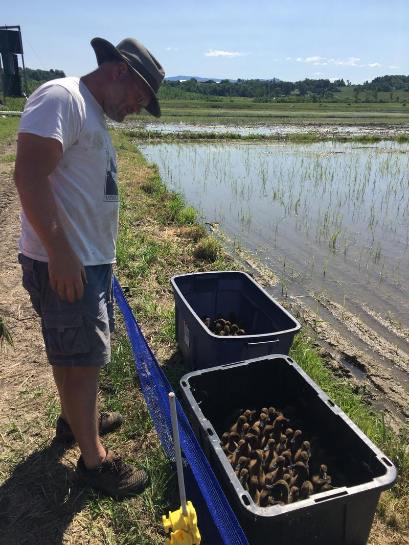 Andrus looks at two bins full of ducks that he's brought out to the rice paddy. Sixty ducklings are in each bin.