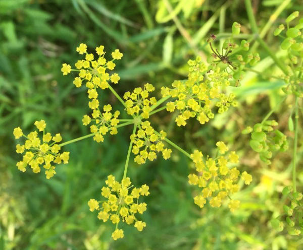 "Wild parsnip, pictured here in Monkton, is also known as ""poison parsnip."" It can cause rashes and blisters on skin that comes into contact with the plant's sap and is exposed to ultraviolet light."