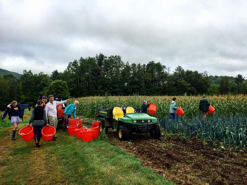 Volunteers from Willing Hands at Crossroad Farm in West Fairlee gather surplus corn to distrubite to those experiencing hunger in Vermont.