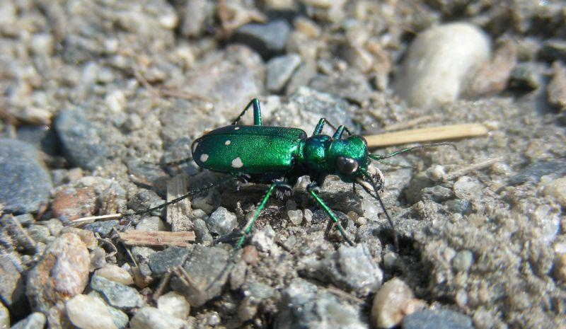 This six-spotted tiger beetle catch your interest? There's more where that came from on the bug show!