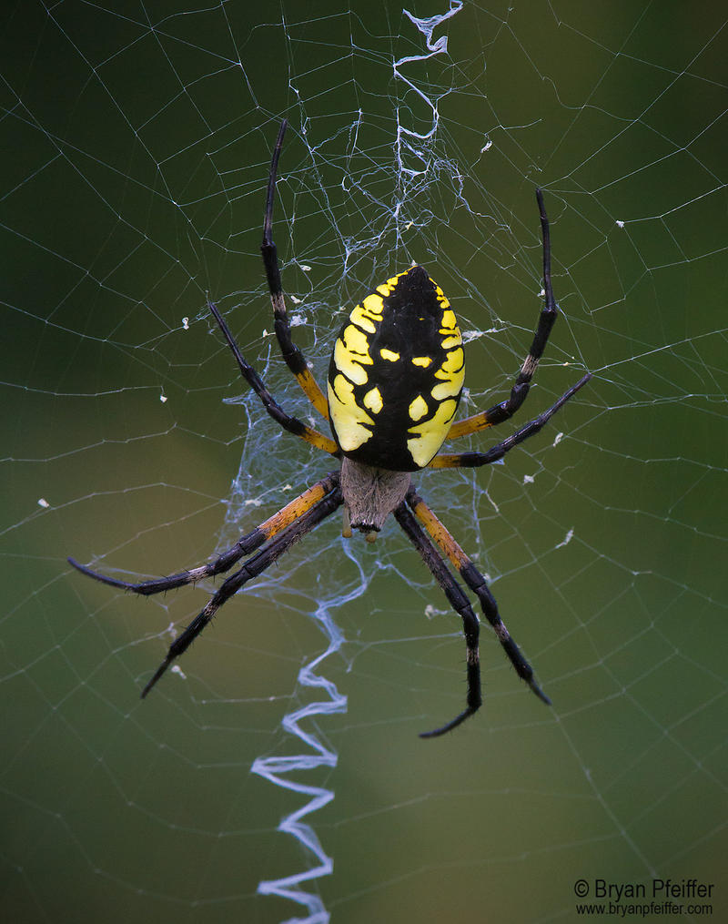 "The ""Argiope aurantia"" also is referred to as the black and yellow argiope."