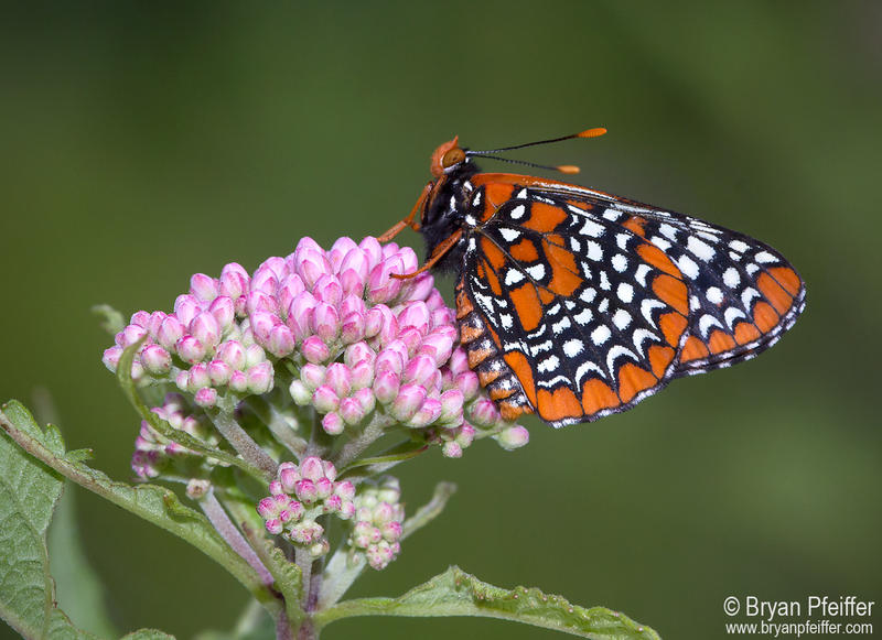 "A ""Euphydryas phaeton"" or Baltimore checkerspot butterfly."