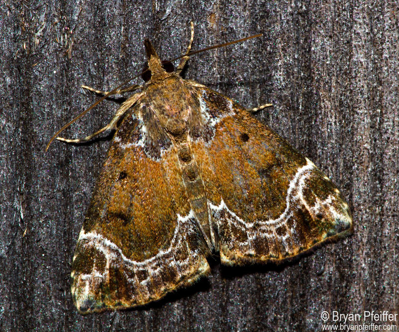 "The ""Hypena abalienalis"" is a moth known also as a White-lined Hypena."