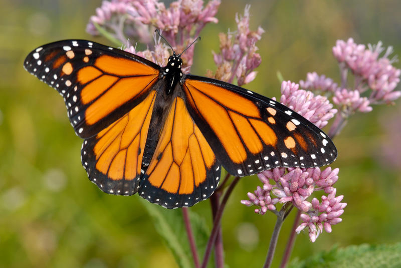 """Monarch butterflies are known to travel thousands of miles annually across North America. Peggy Farabaugh, founder and CEO of Vermont Woods Studios, spoke with """"Vermont Edition"""" about the collaborative work she's doing to help preserve their habitat."""