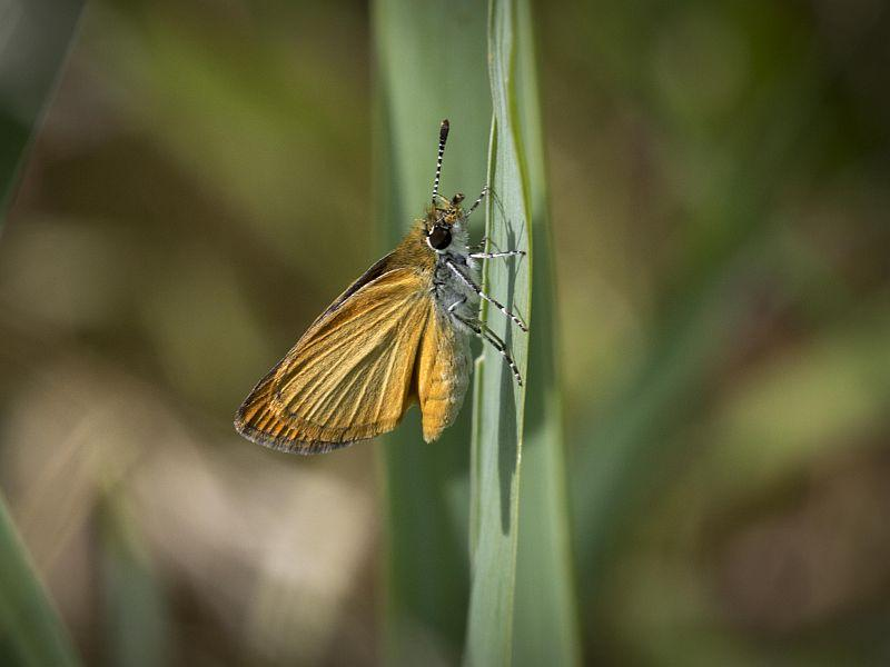 This Least Skipper is barely the size of a fingernail.