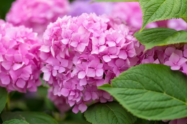 There are more than 600 varieties of hydrangea around the world with new types being developed. Two newer types, hydrangea paniculata and hydrangea arborescens, can add some variety to your garden.