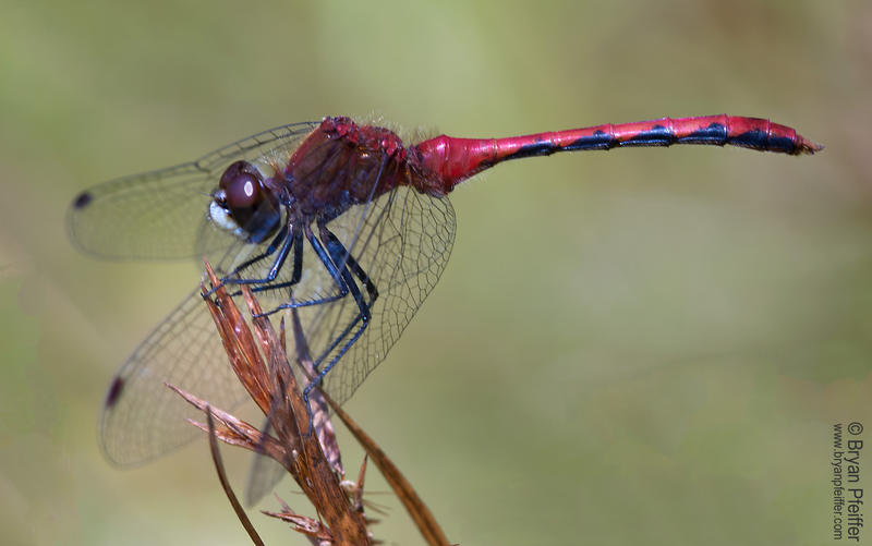 """Sympetrum obtrusum"" or the White-faced Meadowhawk is a type of dragonfly."