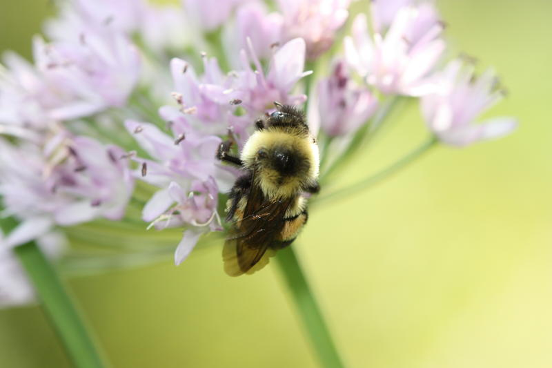 "Unlike honey bees, rusty patched bumblebees practice ""buzz pollination"" where they actually vibrate the flower to help shake out the pollen.  Some native New England plants rely on this kind of pollinator to reproduce."