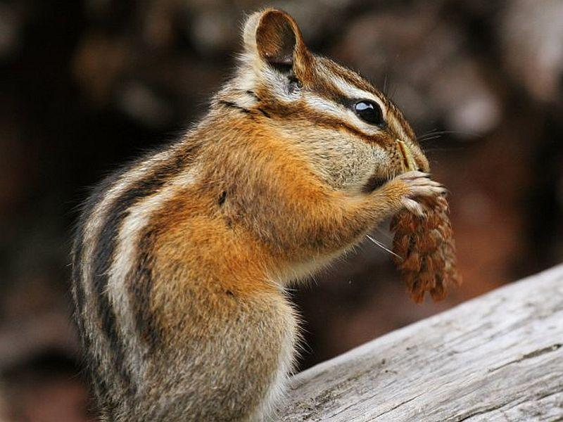 This variety of chipmunk lives in and around Glacier National Park but looks similar to the critter which might be munching away at your garden. But with a few simple steps you can help control these pests.