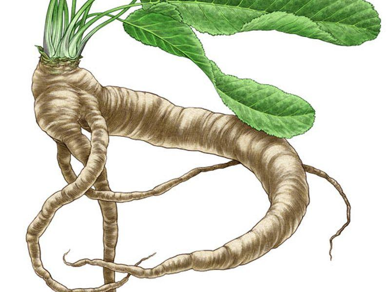 vermont garden journal growing horseradish vermont public radio