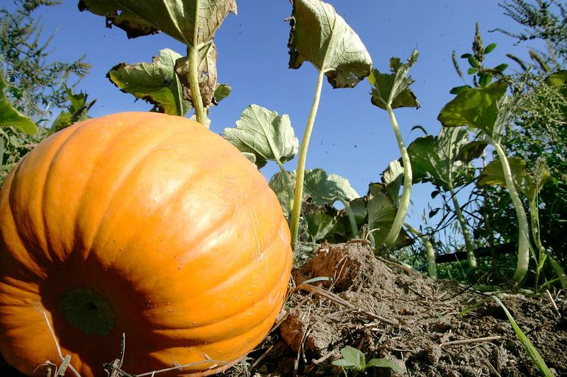 It's not just decorative gourd season, it's time for pumpkins too.