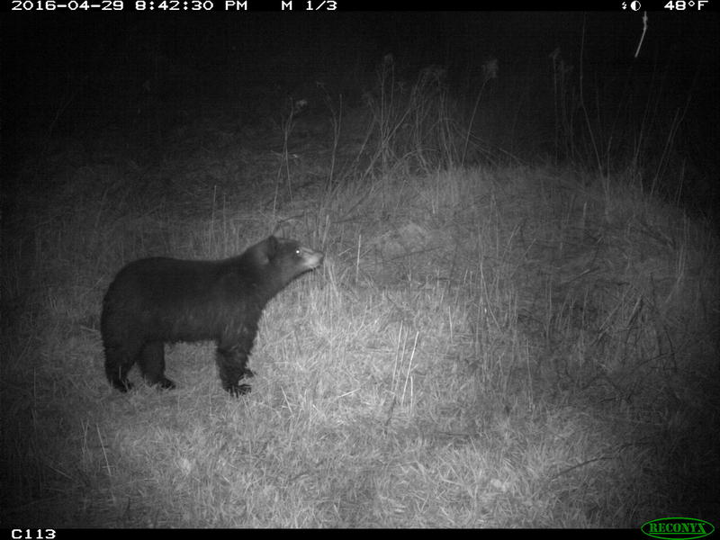 This bear tripped a wildlife camera in Wolcott near the Lamoille River. The cameras show that bear and moose are in the area, but so far do not appear to be using a nearby bridge to move under the highway.