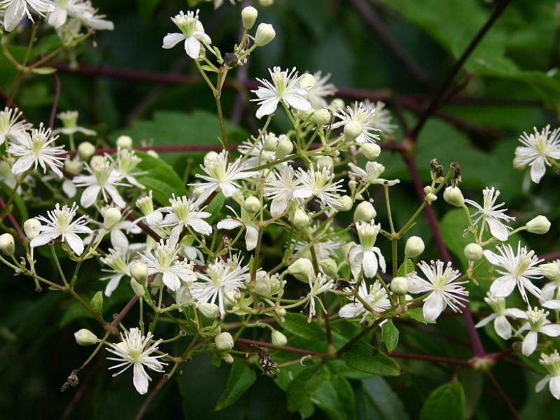 Vermont garden journal fall vines provide color too vermont the clematis virginiana or virgins bower grows in shade and produces these white fragrant flowers in the fall mightylinksfo