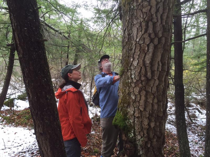 Department of Environmental Conservation Wetlands Manager Laura Lapierre, left, and Windham County forester Bill Guenther admire a black gum tree in Vernon. The state wants to give the Black Gum Swamp Class 1 wetland protection.
