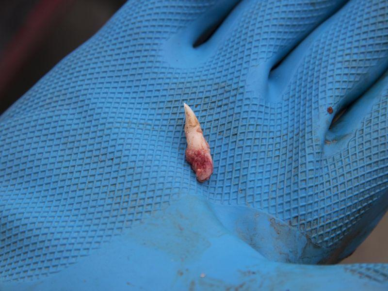 A deer's incisor was extracted and is ready to be sent to Vermont Fish And Wildlife lab for testing.