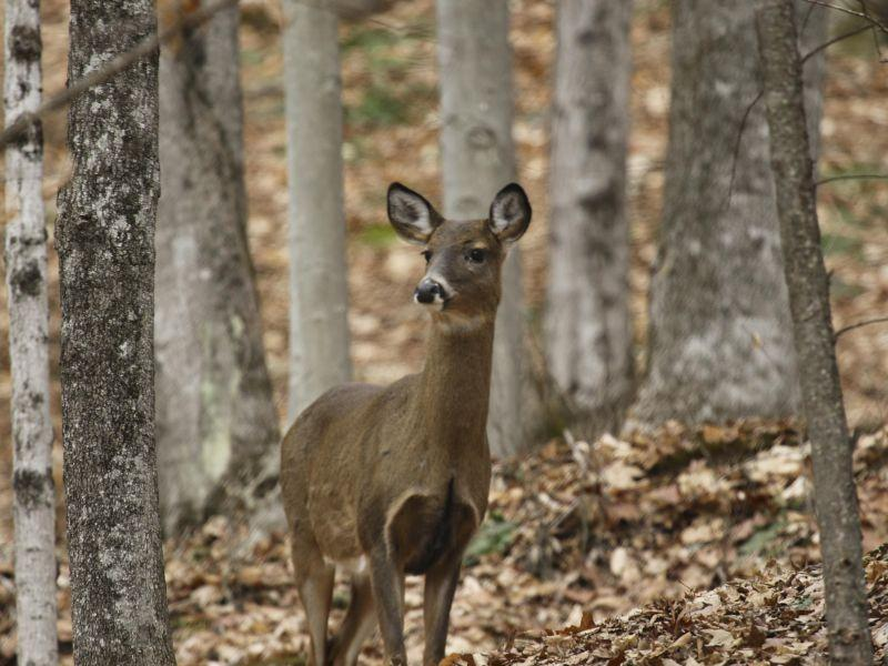 A white tail deer stands in the forest.