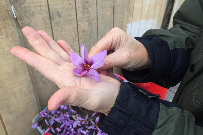 A Vermont-grown saffron flower, in the hands of UVM research professor Dr. Margaret Skinner. Skinner and her team are currently in their second year of studying whether saffron can be grown in high tunnels in Vermont.