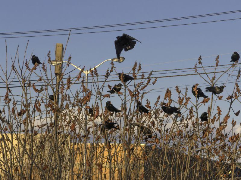 American Crows are coming together for a pre-roost in late afternoon.