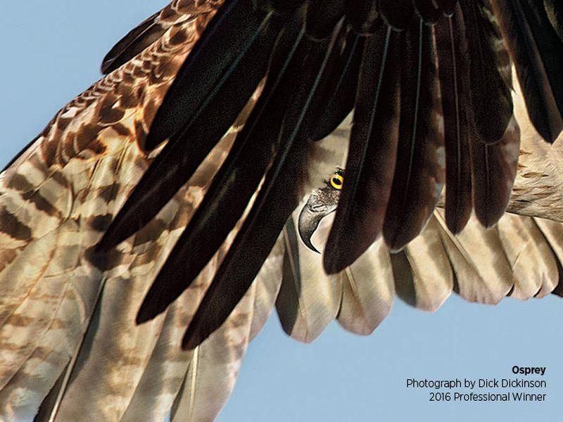 This detail from the poster for the Vermont Audubon Society's photography awards event this weekend shows an osprey in flight, photographed by 2016 professional award winner, Dick Dickinson.