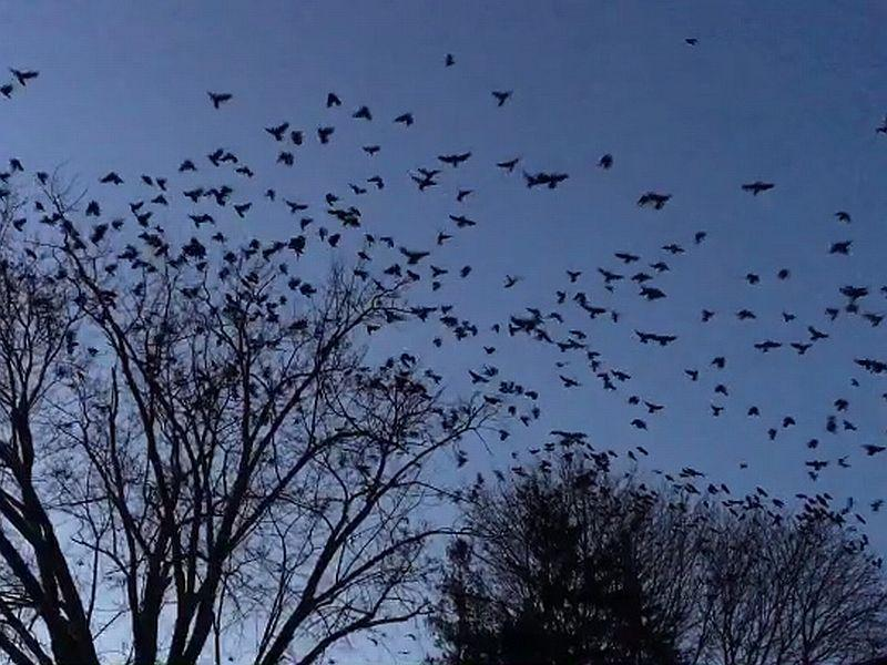 Hundreds of crows begin gathering at dusk in the skies over West Lebanon, NH.