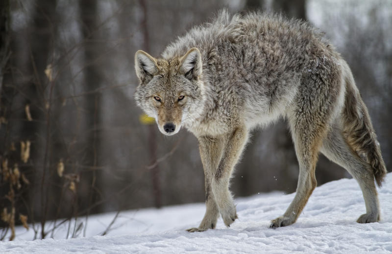 A coyote walks in snowy wooded area.