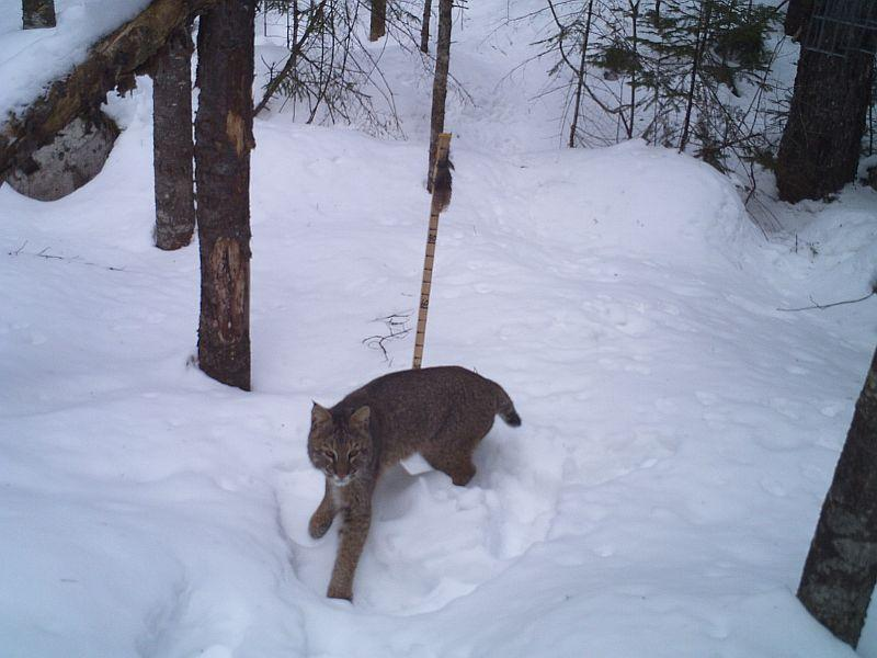 A Vermont Fish And Wildlife camera trap snapped this photo of a bobcat.