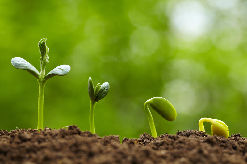 How does a seed germinate?