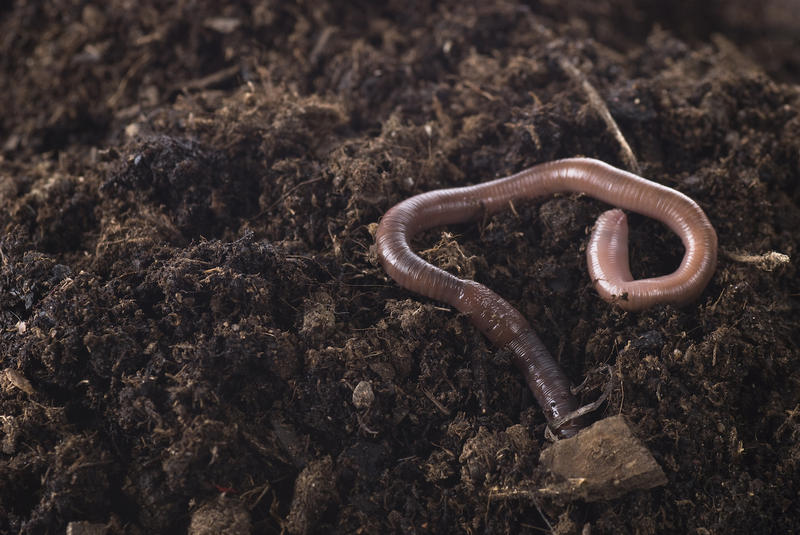 The common earthworm does help soil by creating air and water pathways and decomposing organic matter. On the other hand, the snake worm is an aggressive feeder, reproduces quickly, and can spell doom for the survival of forests.