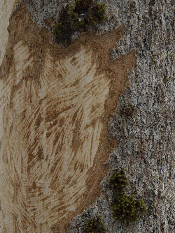 The marks on this hemlock tree show where a porcupine has been feeding.