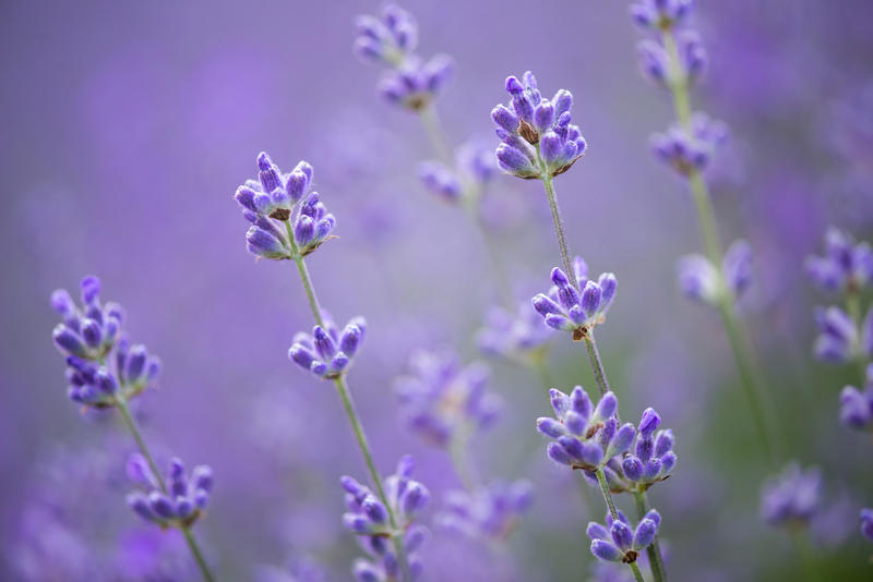 Which perennial herb has been around for 2,500 years, is used in baths, beds and clothing, has been known to soothe migraines, and adds a sweet flavor to food? Lavender, of course.
