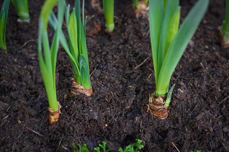 Protect emerging tulips and other spring bulbs from deer browsing by applying repellent sprays now.