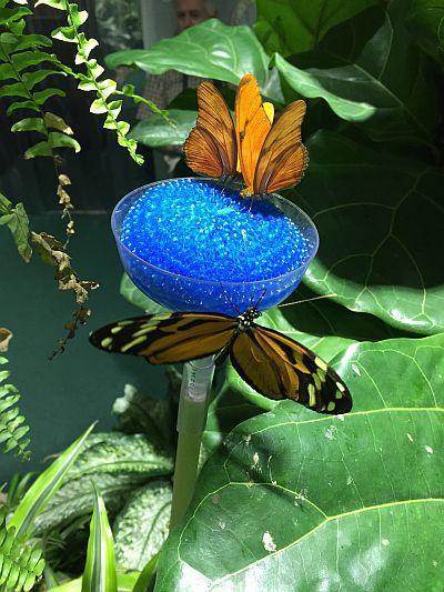 Captive butterflies eat sugar water and ripe bananas.