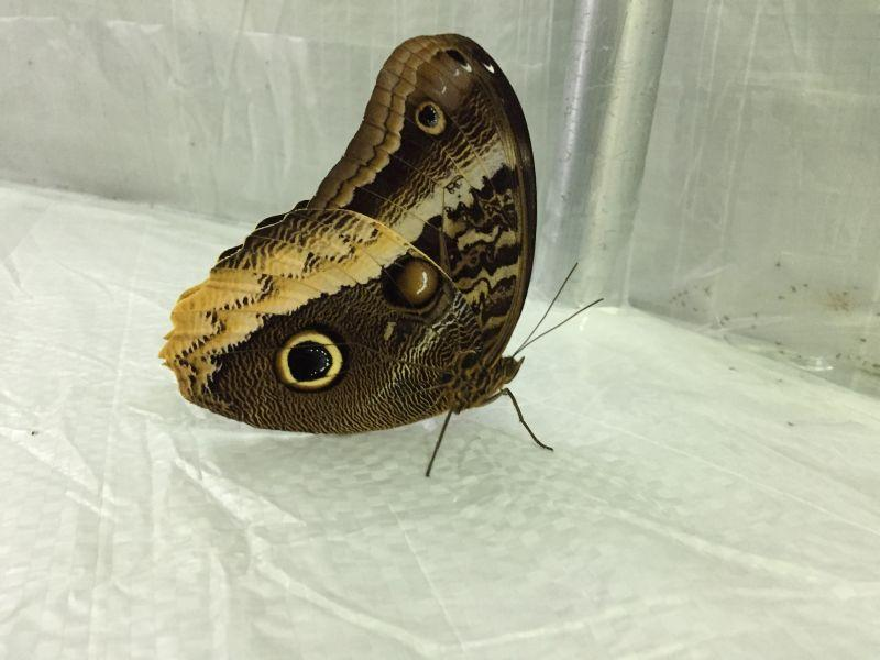 The owl butterfly uses its pattern to try to trick predators into thinking it's an owl instead of a butterfly.
