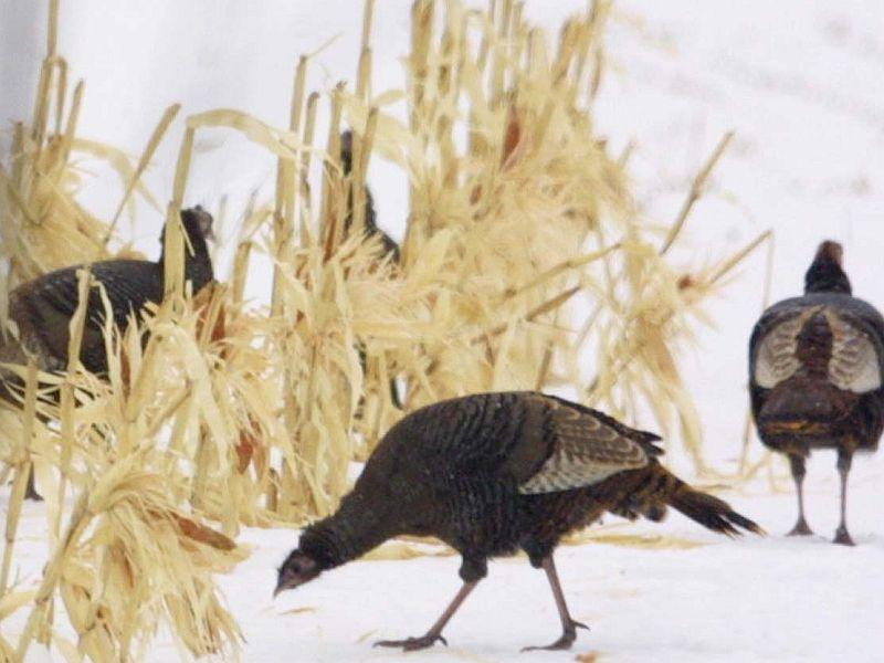Efforts to repopulate Vermont's wild turkeys began in 1969.