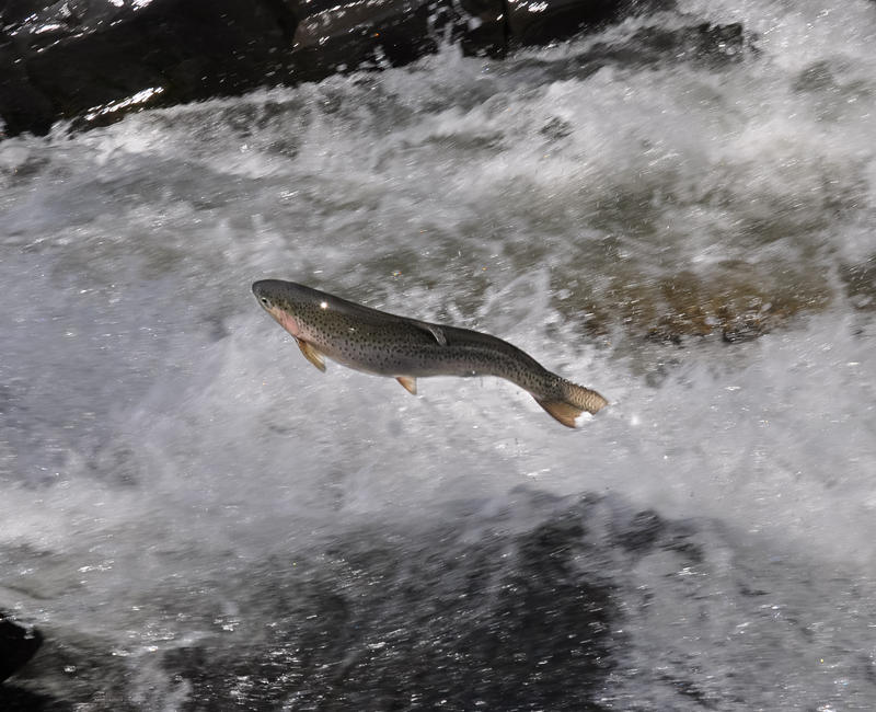 Rainbow steelhead trout leaps out of the water.