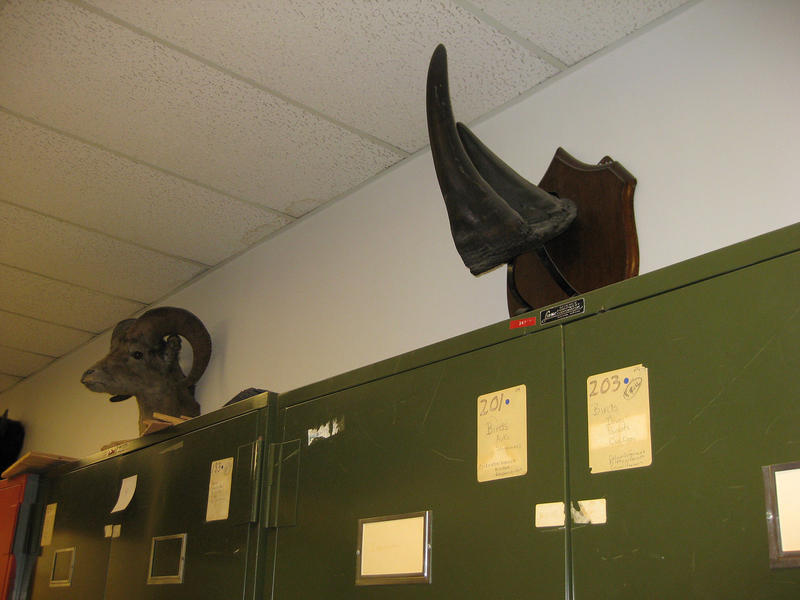 This rhinoceros horn was stolen from Torrey Hall at the University of Vermont.
