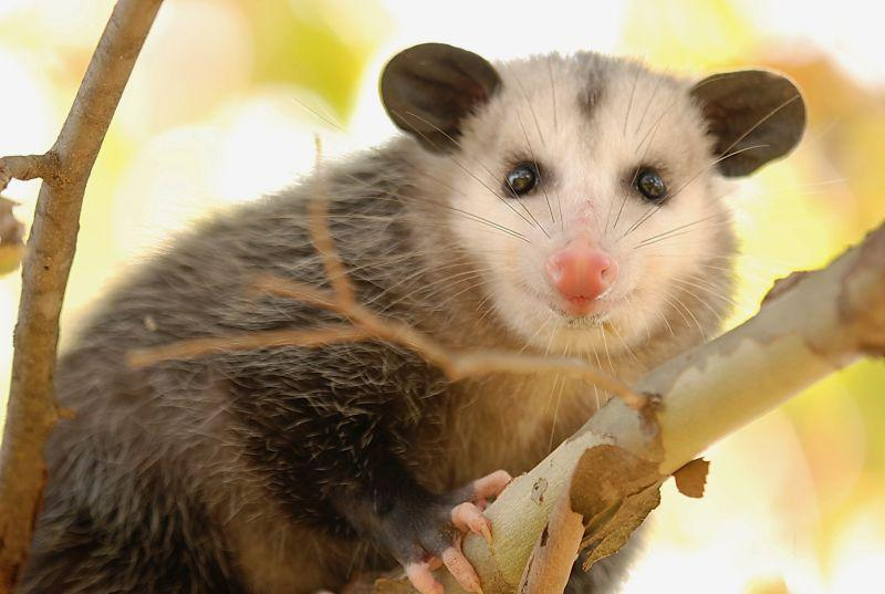 The opossum is one of the animals that is very effective at keeping the tick population down. We're talking about the role that they and other wildlife play.