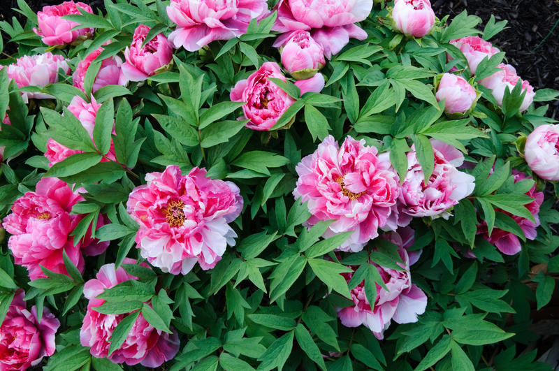 "Tree peonies are just what they sound like. They have woody stems that survive the winter. Though they may never grow into ""trees"" in our climate, they do have a shrubby appearance."
