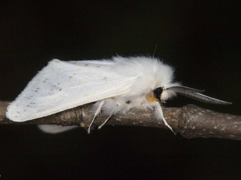 This is an Agreeable Tiger Moth (Spilosoma congrua)