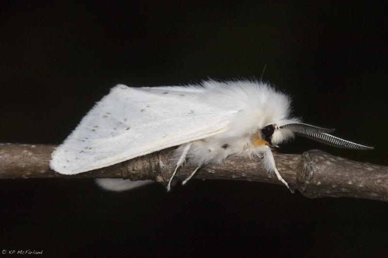 Agreeable Tiger Moth (Spilosoma congrua)